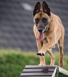Dog agility examples
