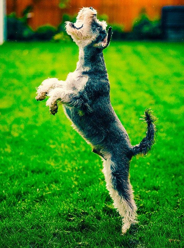 dog jumping up for a flirt pole