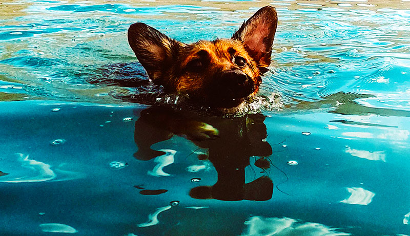 A dog swimming
